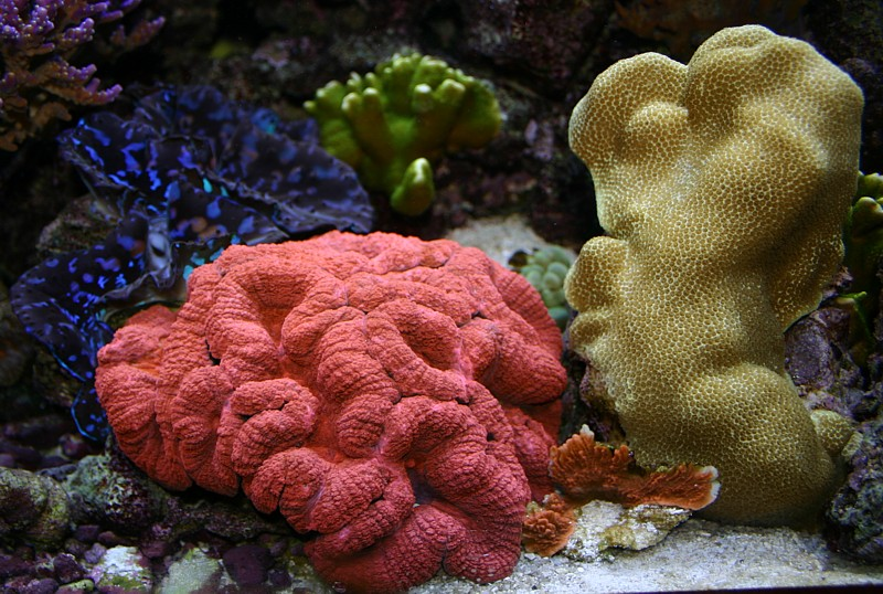 Bright red Lobophyllia