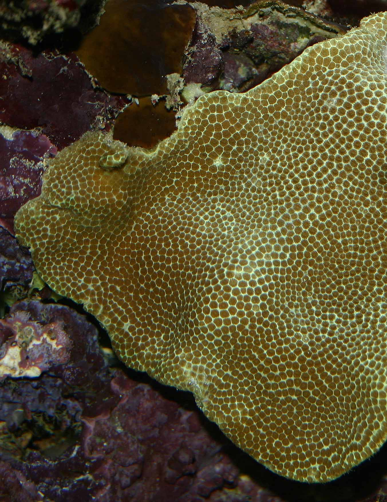 Yellow Porites